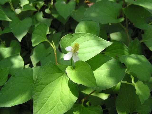 huong-dan-chua-viem-amidan-bang-rau-diep-ca1