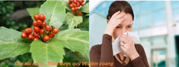 cay-soi-rung-vi-thuoc-vang-chua-viem-xoang-man-tinh2
