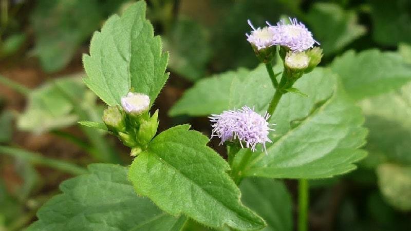 Dùng hoa ngũ sắc là cách chữa viêm xoang bằng phương pháp dân gian phổ biến